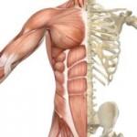 apparato-muscolo-scheletrico